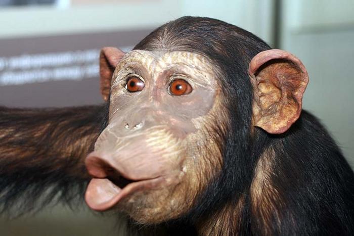 Труд сделал из обезьяны человека